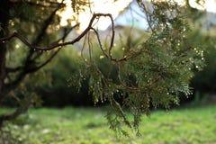 Υπόβαθρο με το αειθαλές κυπαρίσσι δέντρων thuja arborvitae κλάδων Στοκ εικόνα με δικαίωμα ελεύθερης χρήσης