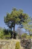 Υπόβαθρο με το δέντρο πεύκων και δάσος πεύκων mountainside, Vitosha βουνό Στοκ εικόνες με δικαίωμα ελεύθερης χρήσης