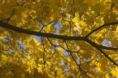 Υπόβαθρο με το κίτρινο φύλλωμα φθινοπώρου Στοκ Εικόνες