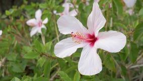 Υπόβαθρο με το ροδαλό Hibiscus λουλούδι, Κρήτη 4K κλείστε επάνω φιλμ μικρού μήκους