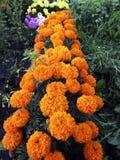 Υπόβαθρο με όμορφο marigold στο κρεβάτι στοκ φωτογραφία με δικαίωμα ελεύθερης χρήσης