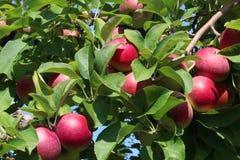Υπόβαθρο οπωρωφόρων δέντρων της Apple Στοκ Εικόνα