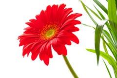 Υπόβαθρο λουλουδιών. Κόκκινο λουλούδι Gerbera. Σχέδιο λουλουδιών Στοκ εικόνες με δικαίωμα ελεύθερης χρήσης
