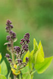 Υπόβαθρο λουλουδιών - τα ιώδη λουλούδια ανθίζουν την άνοιξη Στοκ Εικόνες