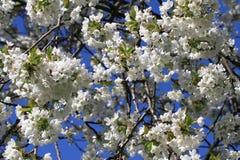 Υπόβαθρο λουλουδιών της Apple Στοκ εικόνες με δικαίωμα ελεύθερης χρήσης