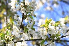 Υπόβαθρο λουλουδιών της Apple Στοκ φωτογραφίες με δικαίωμα ελεύθερης χρήσης