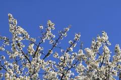 Υπόβαθρο λουλουδιών της Apple Στοκ εικόνα με δικαίωμα ελεύθερης χρήσης