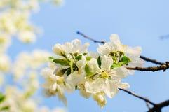 Υπόβαθρο λουλουδιών της Apple Στοκ Εικόνα