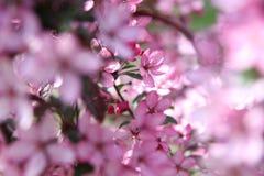Υπόβαθρο λουλουδιών της Apple Στοκ Φωτογραφία