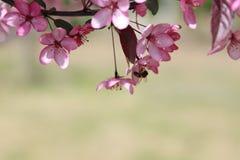 Υπόβαθρο λουλουδιών της Apple Στοκ Εικόνες