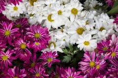 Υπόβαθρο λουλουδιών της Daisy, κινηματογράφηση σε πρώτο πλάνο των όμορφων λουλουδιών μαργαριτών Στοκ φωτογραφίες με δικαίωμα ελεύθερης χρήσης