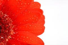 Υπόβαθρο λουλουδιών της Daisy, κόκκινο υπόβαθρο λουλουδιών Στοκ Φωτογραφίες