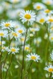 Υπόβαθρο λουλουδιών των μαργαριτών Στοκ εικόνες με δικαίωμα ελεύθερης χρήσης