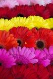 Υπόβαθρο λουλουδιών Gerbera Στοκ Φωτογραφίες