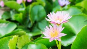 Υπόβαθρο λουλουδιών Lotus Στοκ Εικόνες