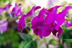 Υπόβαθρο λουλουδιών PinkPink στο ζωολογικό κήπο στη Μπανγκόκ Ταϊλάνδη Στοκ εικόνα με δικαίωμα ελεύθερης χρήσης