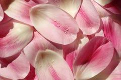 Υπόβαθρο πετάλων λουλουδιών Στοκ Φωτογραφία