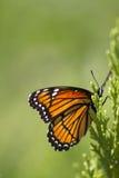 Υπόβαθρο 2 πεταλούδων μοναρχών - plexippus Danaus Στοκ Εικόνες