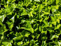 Υπόβαθρο που αποτελείται από τα φρέσκα πράσινα φύλλα που φωτίζονται από το ισχυρή καλοκαίρι ή την άνοιξη ή το εποχιακό φως ήλιων  στοκ εικόνα