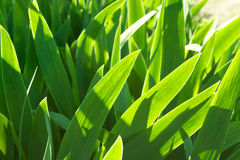 Υπόβαθρο που γίνεται πράσινο από τα φύλλα λουλουδιών ίριδων Στοκ Φωτογραφία