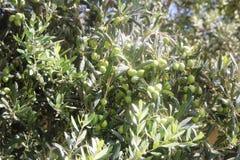 Υπόβαθρο Πράσινη ελιά με τα φρούτα στους κλάδους Στοκ φωτογραφία με δικαίωμα ελεύθερης χρήσης