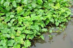 Υπόβαθρο πράσινων εγκαταστάσεων (υάκινθος νερού) Στοκ Εικόνες