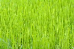 Υπόβαθρο ρυζιού στον τομέα Στοκ Φωτογραφία