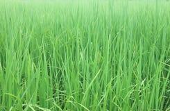 Υπόβαθρο ρυζιού Στοκ Φωτογραφία