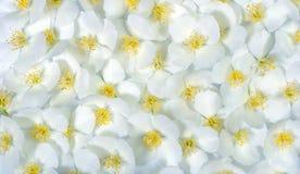 Υπόβαθρο σύστασης λουλουδιών της Jasmine floral φυσικός ανασκόπησης Στοκ εικόνες με δικαίωμα ελεύθερης χρήσης