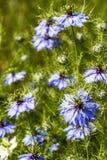 Υπόβαθρο σύστασης λουλουδιών Damascena Nigella Στοκ Φωτογραφίες