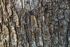 Υπόβαθρο σύστασης φλοιών δέντρων Στοκ Εικόνες