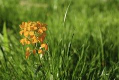 Υπόβαθρο της πράσινης χλόης και του άγριου λουλουδιού Στοκ φωτογραφία με δικαίωμα ελεύθερης χρήσης