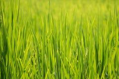 Υπόβαθρο τομέων ρυζιού - μαλακή εστίαση Στοκ εικόνα με δικαίωμα ελεύθερης χρήσης