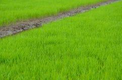 Υπόβαθρο τομέων ρυζιού Στοκ Φωτογραφία