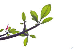 Υπόβαθρο του δέντρου Plumeria Στοκ Φωτογραφίες
