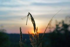 Υπόβαθρο του θερινού ηλιοβασιλέματος με τη σκιαγραφία της λιβελλούλης στη χλόη ενάντια στον ουρανό Στοκ Εικόνες