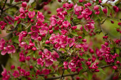 Υπόβαθρο του κόκκινου Apple-δέντρου στο άνθος Στοκ εικόνα με δικαίωμα ελεύθερης χρήσης