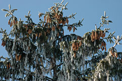 Υπόβαθρο του παγωμένου πεύκο-δέντρου κλάδων (πεύκο) Στοκ φωτογραφία με δικαίωμα ελεύθερης χρήσης