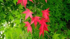 Υπόβαθρο του πράσινου και κόκκινου κισσού το πρώιμο φθινόπωρο Στοκ Φωτογραφία