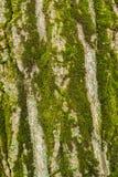 Υπόβαθρο του φλοιού ενός μεγάλου δέντρου Στοκ Εικόνα