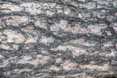 Υπόβαθρο του φλοιού δέντρων Στοκ Φωτογραφία