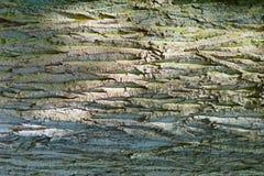 Υπόβαθρο Το δέντρο σφενδάμνου φλοιών Στοκ Εικόνες