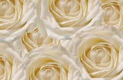 Υπόβαθρο τριαντάφυλλων Στοκ εικόνες με δικαίωμα ελεύθερης χρήσης