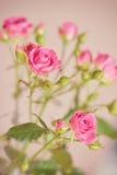 Υπόβαθρο τριαντάφυλλων Στοκ φωτογραφίες με δικαίωμα ελεύθερης χρήσης