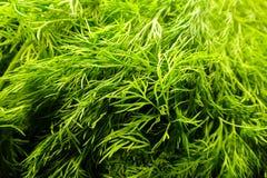 Υπόβαθρο τροφίμων - Anethum Graveolens, επίσης γνωστό ως άνηθος Στοκ εικόνες με δικαίωμα ελεύθερης χρήσης