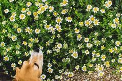 Υπόβαθρο των ανθίζοντας μαργαριτών Και μυρωδιά σκυλιών λαγωνικών Leucanthemum vulgare Κήπος στοκ εικόνα