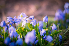 Υπόβαθρο των ανθίζοντας λουλουδιών Scilla άνοιξη Στοκ φωτογραφία με δικαίωμα ελεύθερης χρήσης