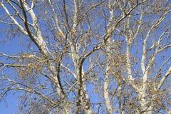 Υπόβαθρο των κλάδων μιας ασημένιας λεύκας διαθέσιμο διάνυσμα δέντρων απεικόνισης φθινοπώρου Στοκ Εικόνες