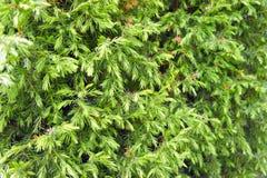 Υπόβαθρο των κλάδων δέντρων έλατου Στοκ Εικόνες