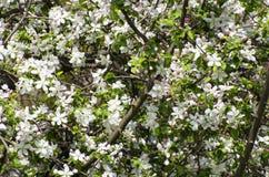 Υπόβαθρο των λουλουδιών Apple-δέντρων Στοκ Φωτογραφίες